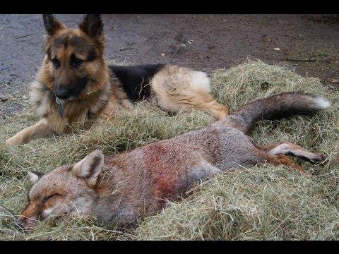 The biggest fox in Britain 2012