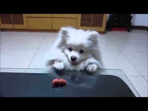 Funny Dog Wants His Weiner%21 He Is Trying So Hard To Get It HILARIOUS FAIL