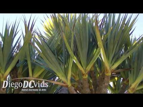 pandanus - cure e caratteristiche