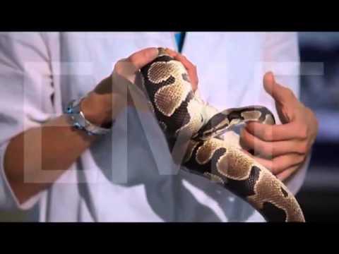 Стоматит у змей. Заболевание ротовой полости у змей