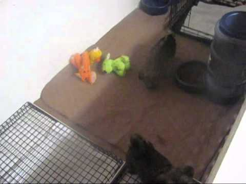 How we Potty Train our puppies at Shorkie World.com