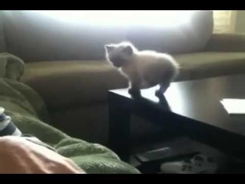 Gatito intenta su primer gran salto