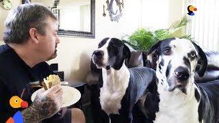 Great Dane Dog REALLY Wants Dad's Sandwich | The Dodo by The Dodo