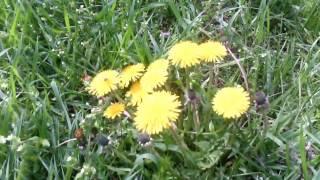 Spring flowers. Spring 2017. UkrainevideonatureFlowersplantsUkraine///////////////////////////////////////////////////////////////////////////////////////////////////////Весенние цветы. Весна 2017. Солнечный день.цветы на дачеза городомапрель 2017УкраинаДнепропетровская обл/////////////////////////////////////////////////////////////////////////////////////////////////////////Смотрите еще видео :Пирог-запеканка из тертого картофеля с сыром . ПРОСТО И ВКУСНО! Рецепт запеканки. https://www.youtube.com/watch?v=_boKrFYLQDM&t=17s////////////////////////////////////////////////////////////////////////////////////////////////////////// ВКУСНЫЙ ЯБЛОЧНЫЙ ПИРОГ. Рецепт пирога. Пошаговый рецепт. https://www.youtube.com/watch?v=59KBt0O-iH8//////////////////////////////////////////////////////////////////////////////////////////////////////апрельская метель в Украине  https://www.youtube.com/watch?v=fyBZw1EGDxI&t=5s//////////////////////////////////////////////////////////////////////////////////////////////////////ЛЕНИВЫЙ ПИРОГ НА КЕФИРЕ. Вкусный пирог. Пошаговый рецепт https://www.youtube.com/watch?v=MtpRwkQbj8c&t=2s///////////////////////////////////////////////////////////////////////////////////////////////////СМЕТАННИК С ОРЕХАМИ. Пирог рецепт. Вкусный пирог https://www.youtube.com/watch?v=JM3TWTzmMfY&t=6s/////////////////////////////////////////////////////////////////////////////////////////////////Рогалики. Сладкие и хрустящие. Рецепт рогаликов. Круассаны https://www.youtube.com/watch?v=4kF-L7eZ9-4&t=19s/////////////////////////////////////////////////////////////////////////////////////////////// ОЧЕНЬ ПЫШНЫЕ ОЛАДЬИ.Видео приготовление и рецепт.ВКУСНЫЕ ОЛАДЬИ. https://www.youtube.com/watch?v=Zx9R-jSUzs0&t=20s////////////////////////////////////////////////////////////////////////////////////////////Днепродзержинск / Каменское . 70-е годы.История одного города... https://www.youtube.com/watch?v=Ujg6Ot7M708&t=172s///////////////////////////////////////////////////////////