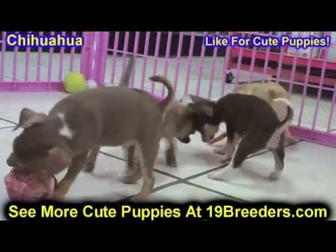 Chihuahua, Puppies, For, Sale, In, Albuquerque, New Mexico, NM, Gallup, Carlsbad, Alamogordo, Hobbs,