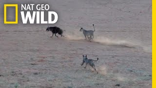 Tense Chase Follows as Unsuspecting Hyena Trespasses on Lion Territory | Nat Geo Wild by Nat Geo WILD