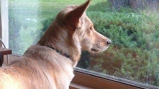 Video Perro mira por la ventana a diario, cuando la dueña finalmente descubre porqué, su corazón se rompe. MP3, 3GP, MP4, WEBM, AVI, FLV Agustus 2018