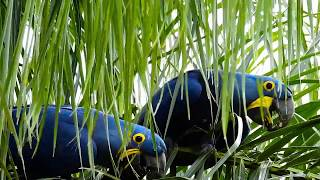 Birds visiting my yard, Macaws eating coconut, Hyacinth Macaw, Anodorhynchus hyacinthinus