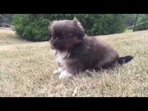 Sandy the Shih Tzu Puppy for sale