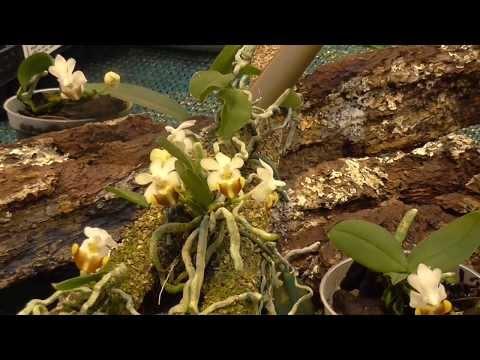 Orchideen Arten: Phalaenosis lobbii (benannt nach Thomas Lobb)