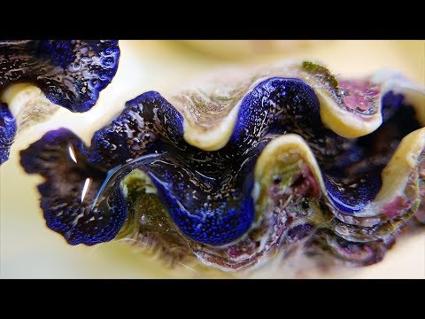 Japanese Street Food - BLUE ALIEN CLAM Sashimi Garlic Butter Clams Japan Seafood - Thời lượng: 17 phút.