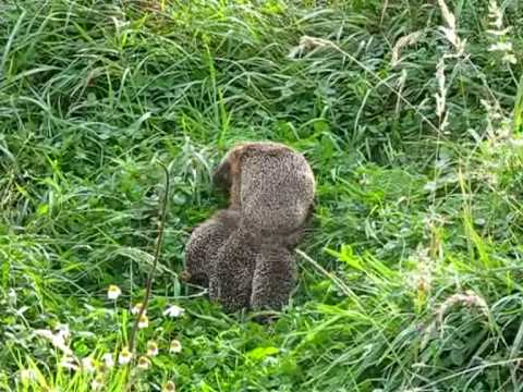 Igel - Mama-Igel und drei Baby-Igel machen einen Ausflug und faszinieren dabei unsere indischen Laufenten.