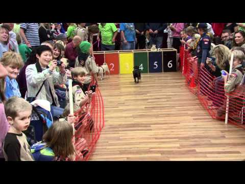 pug races 10-30-11