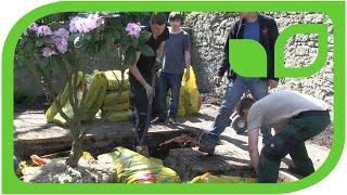 Ippenburger Gartentipps: Wie wird ein Rhodo mit grossem Ballen gepflanzt?