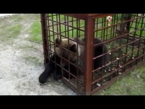 как ловить медведя мышеловкой