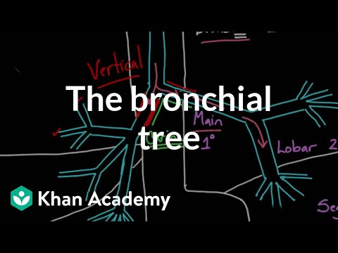 The bronchial tree (video) | Khan Academy