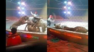 Dlatego w cyrku nie powinno być dzikich zwierząt! Tygrys zaatakował konia na cyrkowej arenie!
