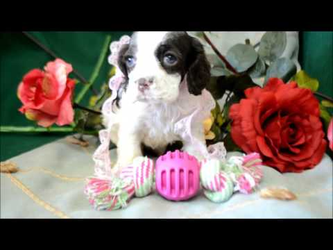 Athena AKC Chocolate White Parti Cocker Spaniel Puppy for sale