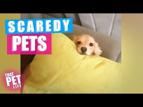 Funny animals - Pets Who Are SO SCARED   Funny Animal Compilation