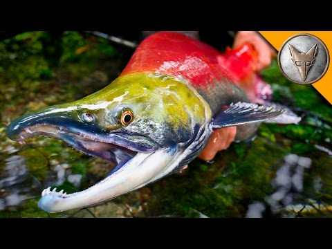 Coyote Peterson Nets and Releases a Giant Sockeye Salmon In Alaskan Bear
