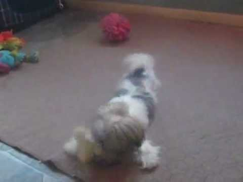 Shorkie health issues