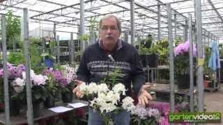 #1142 Rhododendron Knap Hill Azalee Schneegold