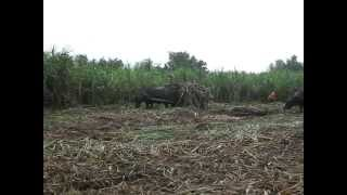 Hinigaran Philippines  city pictures gallery : Philippines, Hinigaran sugar cane fields