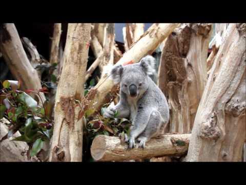 Leipzig: Oobi frisst - Leipzigs erster Koala