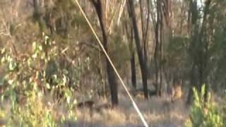 Moranbah Australia  city photo : Wild Deer In Moranbah Queensland Australia