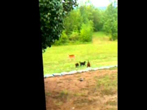 Deer chasing dogs.mov