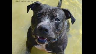 Mitch - Pit Bull Terrier / Labrador Retriever / Mixed (short coat) Dog For Adoption