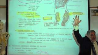 ANATOMY; MUSCLES OF THE PERINEUM&THIGH By Professor Fink