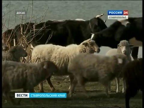 На Ставрополье пробуксовывает молочное производство