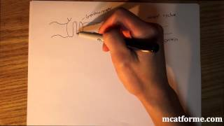 MCAT Biology Lecture: Peptide Vs. Steroid Hormone