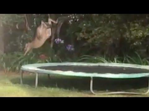 闖進民宅的小袋鼠在彈跳床一跳後,糗到爆的「飛趴一幕」連牠自己都被嚇到愣住!