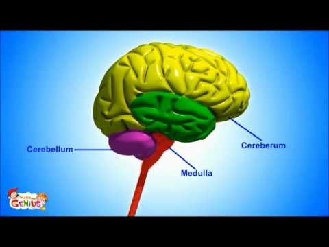 the human brain exercise Gross anatomy of the brain clinical case cerebrum diencephalon cerebellum brainstem clinical considerations synonyms and eponyms follow-up to clinical case questions.
