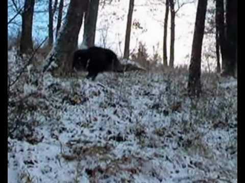 Wild Boar Driven Hunts in Hungary 1 - Sautreibjagden in Ungarn 1 - Vaddisznóhajtás 1