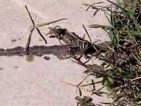 0 Grasshopper Laying Eggs