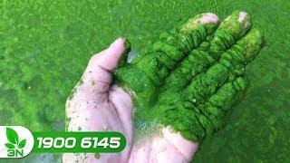Thủy sản | Cách diệt trừ rêu trong ao nuôi cá