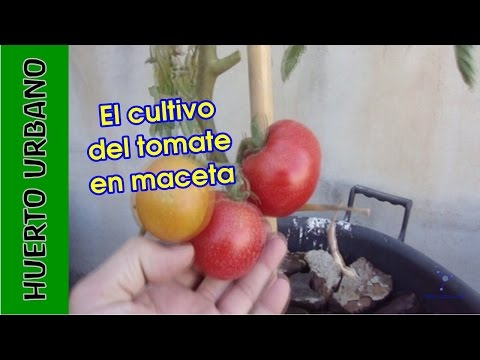 Tomates en la terraza