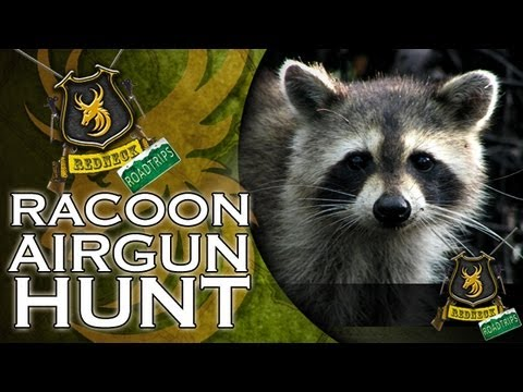 Airgun - Team Wild's Redneck Road Trip: Day 19. Racoons are wily creatures of the night, tearing into Terry Tate's deer feeders and emptying them of corn, ripping up ...