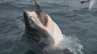 Video The Megalodon Shark Has Finally Been Caught By a Group of Scientists... MP3, 3GP, MP4, WEBM, AVI, FLV Januari 2019