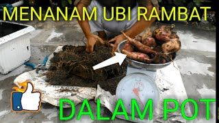 Video Menanam ubi rambat dalam pot MP3, 3GP, MP4, WEBM, AVI, FLV Maret 2019