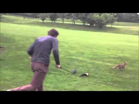 El zorro ladrón de pelotas de golf