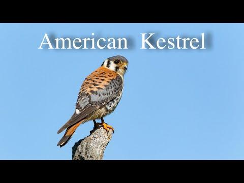 American Kestral