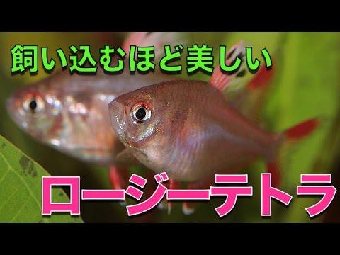 【熱帯魚・カラシン】 ロージーテトラ (Aqupedia)
