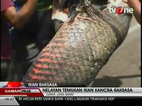 Ikan Kancra Raksasa Gegerkan Garut ( cimacan)