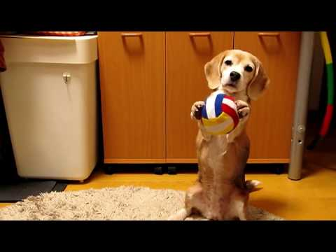 Japan: Beagle Catching A Ball