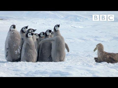 Pienet pingviinit vaarassa – Suojelija saapuu sivummalta ja auttaa