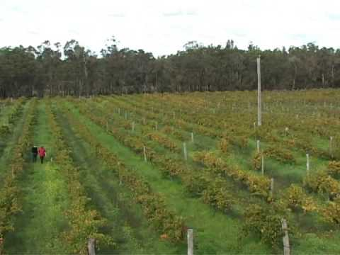Australian Winery Galafrey Wines beautiful Pictures Vineyard, Winery and surrounding area.